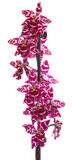 Orchids flowers cambria orchid flower Stock Images