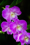 Orchids flowers and green leaves background. In garden. Orchids is considered the queen of flowers in Thailand Royalty Free Stock Photos