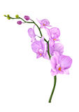 Orchids flowers illustration Royalty Free Stock Image