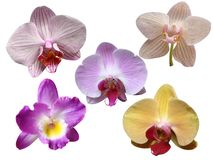 Orchids flowers. It is isolated stock illustration