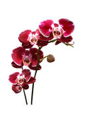 Orchids flowers isolated Royalty Free Stock Photography