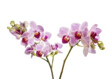 Orchids. Flowers isolated on white background royalty free stock images