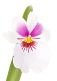 Orchids flowers miltonia orchid flower Royalty Free Stock Images