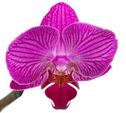 Orchids flowers phalaenopsis orchid flower Royalty Free Stock Image