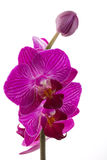 Orchids flowers phalaenopsis orchid flower. Isolated on white background Stock Photography