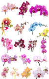 Orchids flowers phalaenopsis orchid flower. Isolated on white background Royalty Free Stock Image