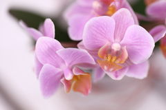 Orchids flowers Stock Photos
