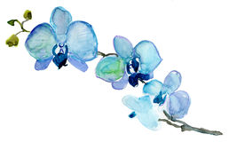 Orchids  flowers, watercolor illustration Royalty Free Stock Photography