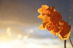 Orchids in front of sunset. Beautiful orchids in front of sunset sky Stock Image
