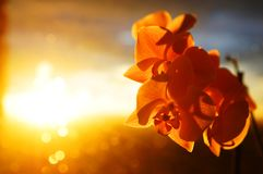 Orchids in front of sunset. Beautiful orchids in front of sunset sky Royalty Free Stock Photo