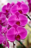 Orchids in the garden Royalty Free Stock Photography