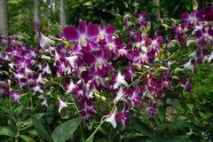 Orchids garden Singapore National Orchid Garden Singapore. Singapur National Orchid Garden Singapur Orchideen garten Stock Images