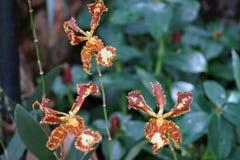 Orchids garden Singapore National Orchid Garden Singapore. Singapur National Orchid Garden Singapur Orchideen garten Stock Photo