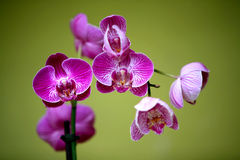 Orchids on green backgrownd of Utopia Park. Stock Photo