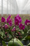 Orchids in greenhouse Stock Image
