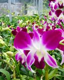 Orchids in greenhouse. Orchids grown in a farm greenhouse for sale to retail outlets across the world stock photography