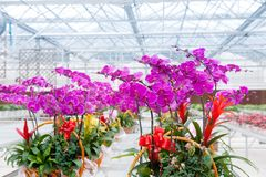 Orchids grow in greenhouse Stock Images