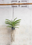 Orchids grown in plastic pots hanging on the walls. Royalty Free Stock Photo