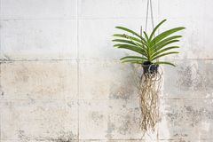 Orchids grown in plastic pots hanging on the walls. Royalty Free Stock Image