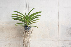 Orchids Grown In Plastic Pots Hanging On The Walls. Stock Photo