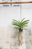 Orchids Grown In Plastic Pots Hanging On The Walls. Stock Images