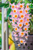 Orchids in hanging pots. Stock Photography