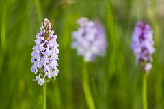 Orchids in the High Fens, Belgium Royalty Free Stock Images