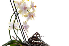 Orchids. Isolated. Stock Photo