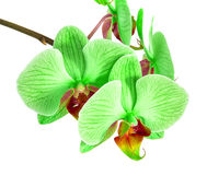 Orchids on isolated background. beautiful flower branches orchids on white background Royalty Free Stock Photography