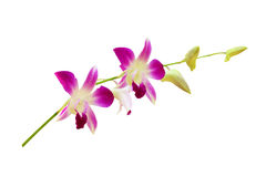 Orchids isolated on white. Background Stock Photography