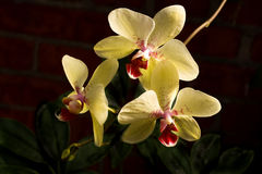Orchids - latin name Orchidaceae. Yellow and Red orchids on black Royalty Free Stock Photo