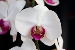 Orchids: Leopard`s face like shape inside the pink petals of this phalaenipsis variety. Shape resembling a leopard`s face visible in the center of the pink stock photo