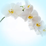 Orchids on light background Stock Images