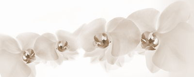 Orchids on light background. Sepia orchids on light background Stock Photos