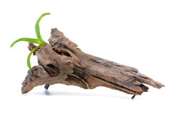 Orchids in old stumps. Stock Photo