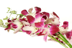 Orchids On White Stock Images