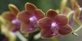 Orchids. Orange-red Orchids, cultivated in a garden stock image
