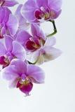 Orchids på vit Arkivfoton