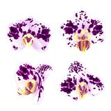 Orchids Phalaenopsis spotted Purple-white beautiful flowers set first vintage on a white background vector illustration closeup Stock Image