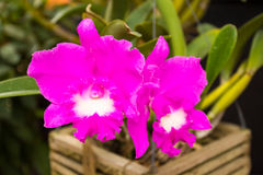 Orchids. This photo are Orchids taken at Chiangmai Thailand Stock Photos
