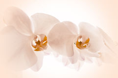 Orchids on pink background. Close-up of orchids on light background. white spring orchid flower Royalty Free Stock Photography