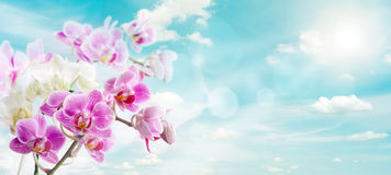 Orchids. Pink orchids on blue sky background Stock Photos