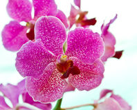 Orchids Royalty Free Stock Photos