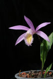 Orchids pleione isolated on black Royalty Free Stock Photos