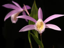 Orchids pleione isolated on black Stock Image
