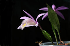 Orchids pleione isolated on black Stock Photos