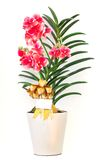 Orchids in pot Royalty Free Stock Image