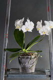 Orchids in pots on a metal stepladder Royalty Free Stock Photo