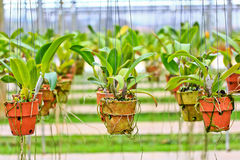 Orchids in the pots Royalty Free Stock Image