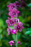 Orchids. Pretty Orchid completely open, very beautiful royalty free stock photo
